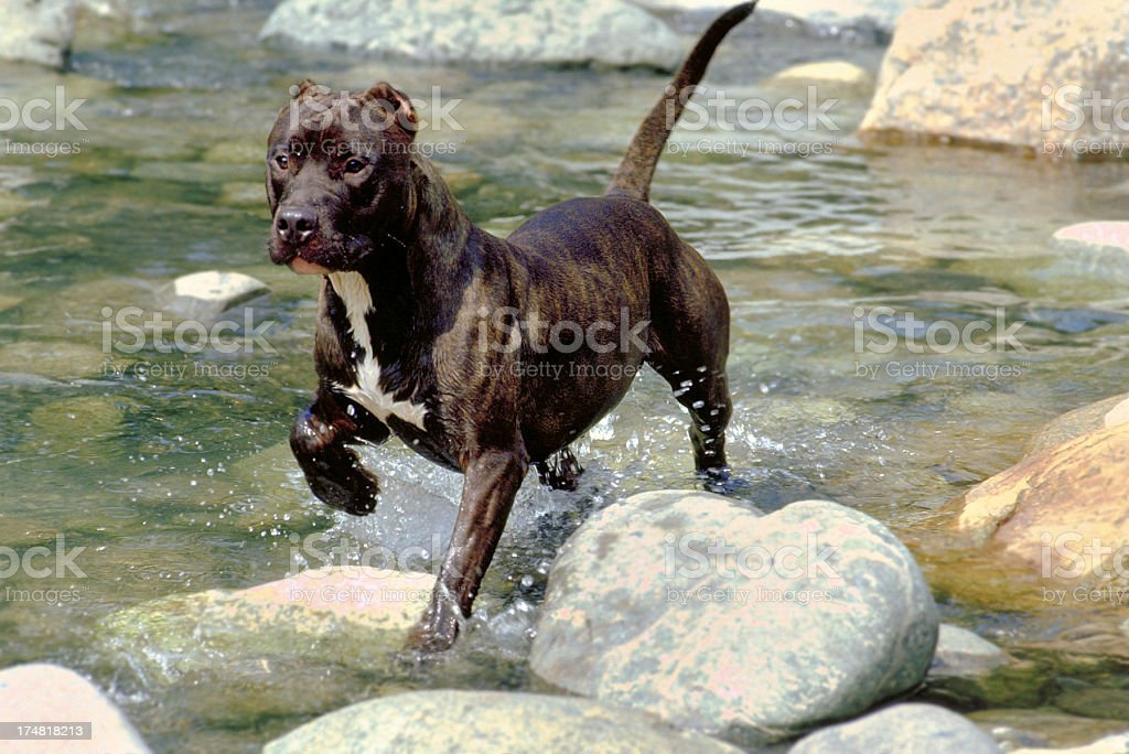 Pit bull dog running on the rocks in the water stock photo