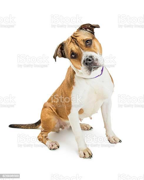 Pit bull dog sitting tilting head picture id626698588?b=1&k=6&m=626698588&s=612x612&h=ieo6muswex0ffnnbdksi2y2qo tnek4jpze cvdmxmy=