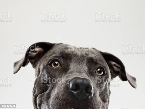 Pit bull dog staring portrait picture id699833038?b=1&k=6&m=699833038&s=612x612&h=0kasrd4wwvlprjiktrdtfxavvph1d3lhhean j4dd w=
