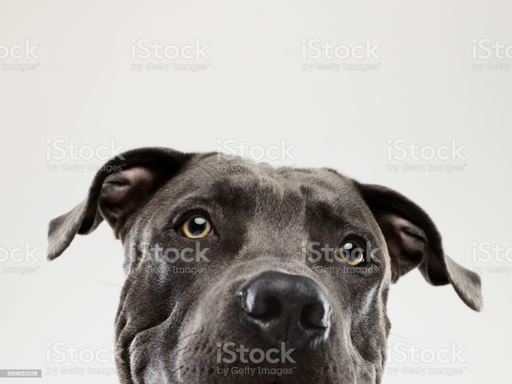Retrato mirando de perro pit bull - foto de stock