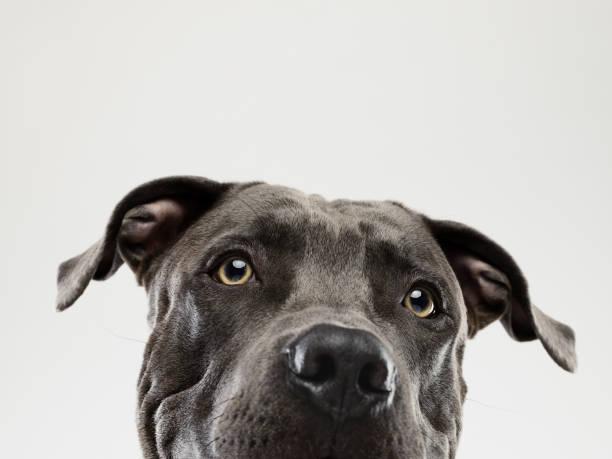 pit bull hund starren porträt - pitbull welpen stock-fotos und bilder