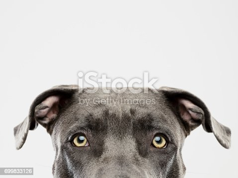 Portrait of a cute american pitbull dog looking at camera with attention. Horizontal portrait of black american stafford dog posing against white background. Studio photography from a DSLR camera. Sharp focus on eyes.