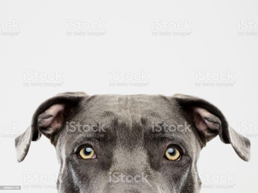 Pit Bull Hund Studioportrait – Foto