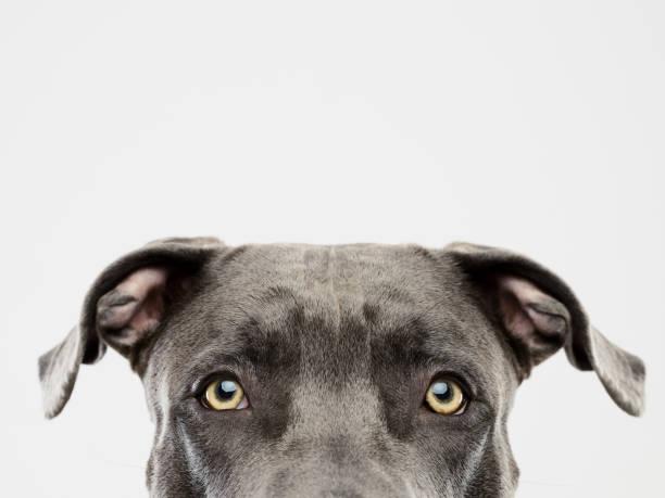 Pit bull dog studio portrait stock photo