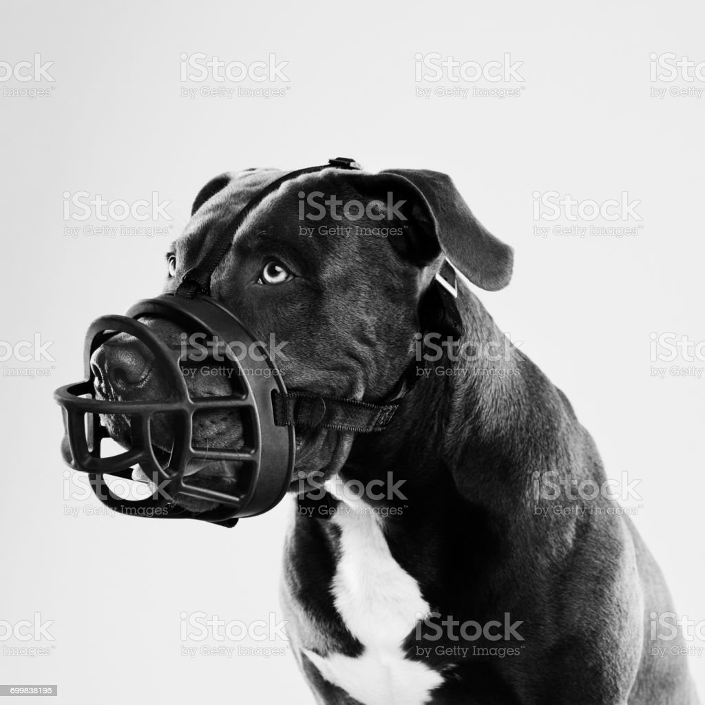 Pit bull dog with big muzzle portrait stock photo