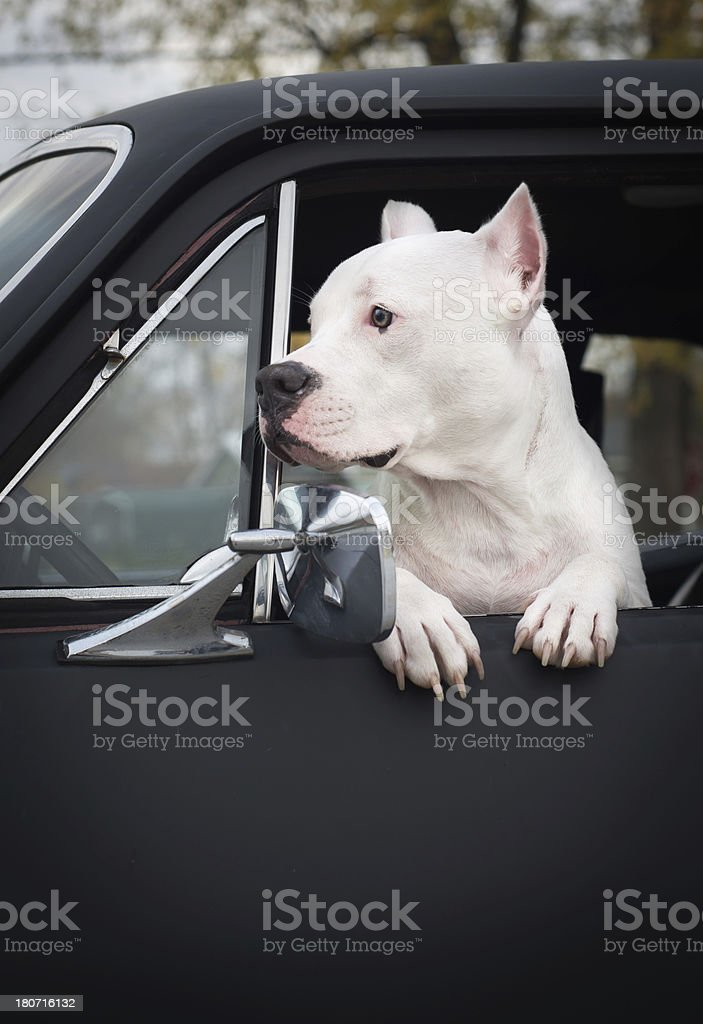 Pit Bull hanging out of a car window stock photo