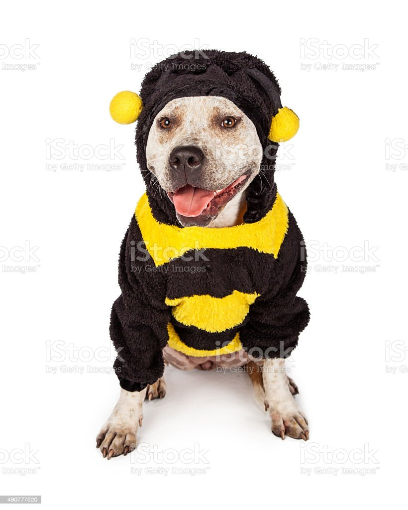 Pit Bull in Halloween Bumble Bee Costume stock photo