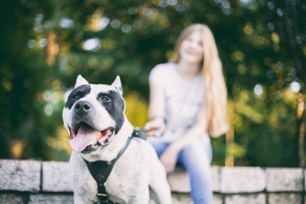 Pit bull in the foreground stock photo