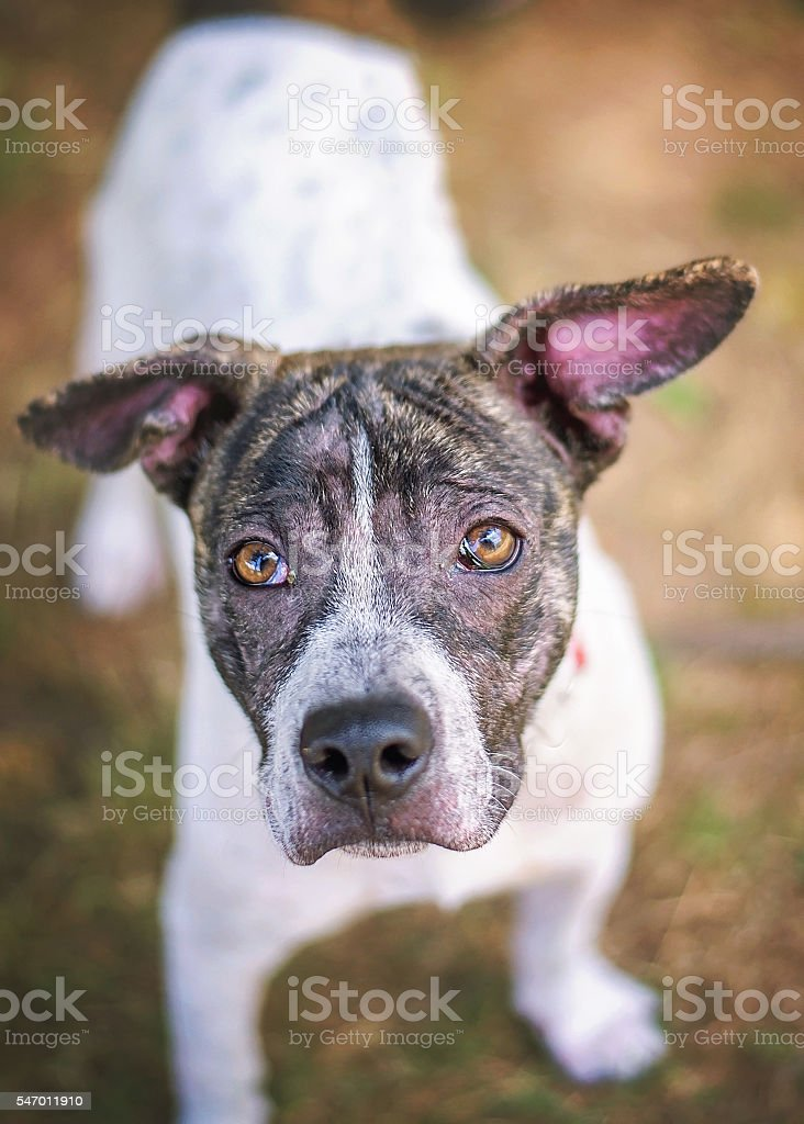 Pit Bull Mix in Shelter stock photo