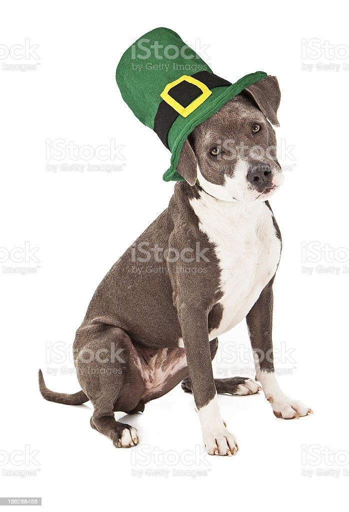Pit Bull Mix Wearing St Patricks Hat stock photo