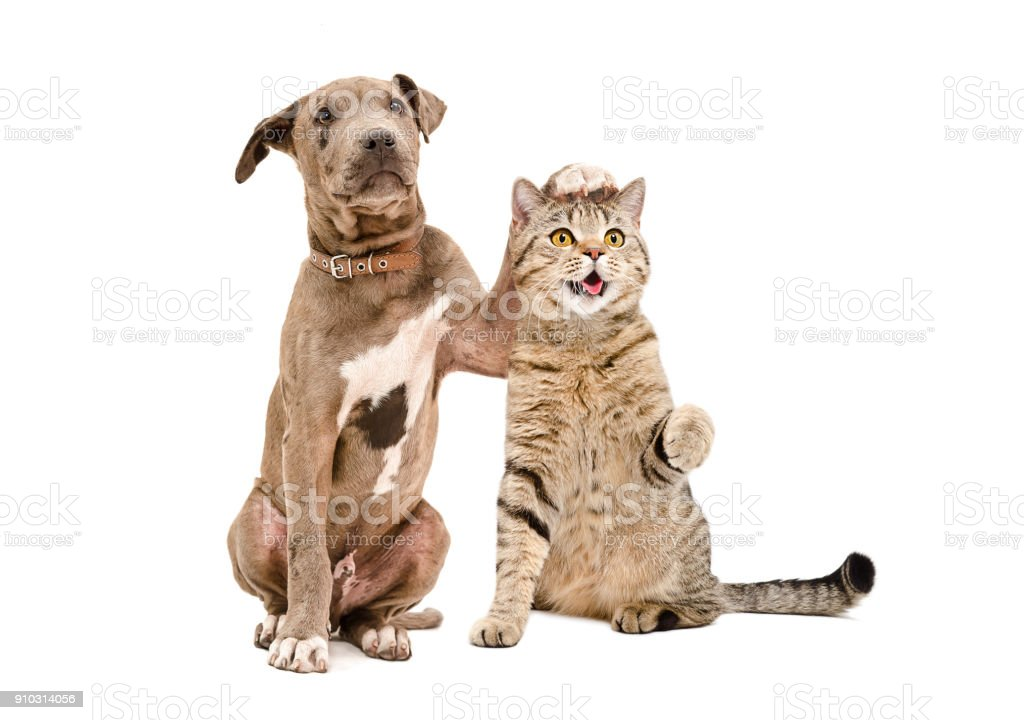Pit bull puppy and a cat Scottish Straight amicably sitting together stock photo