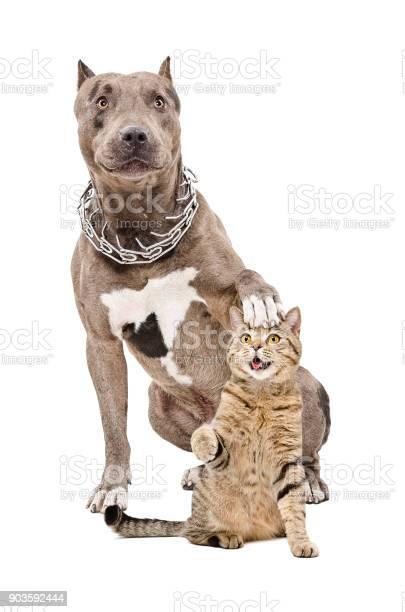 Pit bull sitting with his paw on the head of a cat picture id903592444?b=1&k=6&m=903592444&s=612x612&h=qkyjylozp8fmdf2o0kswe3ku4r7nao pxypqfdz13ku=