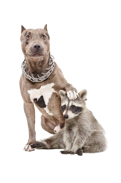 Pit bull sitting with his paw on the head of a raccoon picture id926092620?b=1&k=6&m=926092620&s=612x612&w=0&h=mm68exucrhjoxulzs5mjeii1zvanugcoc49lm4z1tcc=