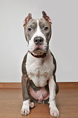 Pit Bull Terrier dog in animal shelter hoping to be adopted