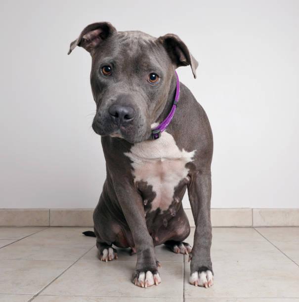 Pit bull terrier dog waiting to be adopted picture id1001199522?b=1&k=6&m=1001199522&s=612x612&w=0&h=nzsift0atyxwc7ekhkjsyrwog3mrc80ypnaqzllt63g=