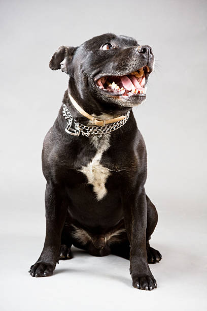 Pit bull terrier picture id118207320?b=1&k=6&m=118207320&s=612x612&w=0&h=lcvx2tjghtv2asdfdys5eq42pfntpybioxb7eycawxc=