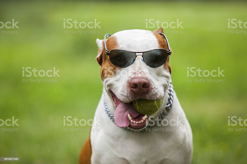 Pit bull terrier royalty-free stock photo