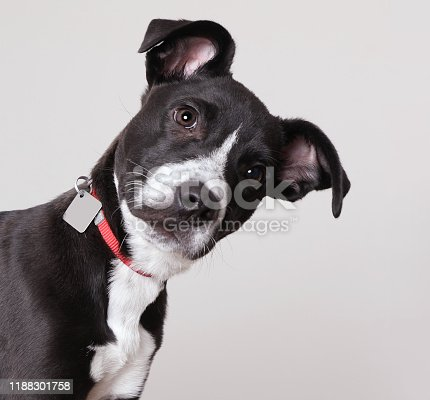 Pit Bull Terrier puppy in animal shelter, hoping to be adopted. Mixed breed.