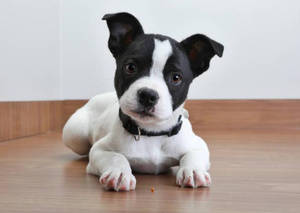 pit bull terrier welpen im tierheim, in der hoffnung, angenommen werden - pitbull welpen stock-fotos und bilder