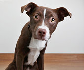 Pit Bull Terrier puppy in animal shelter, hoping to be adopted