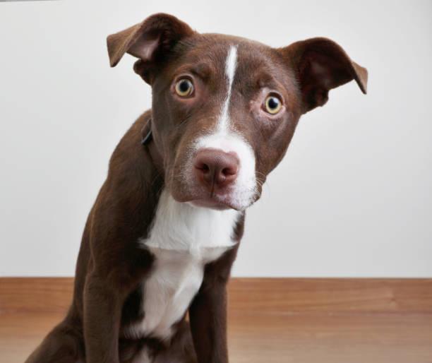 Grube Bull Terrier Welpe im Tierheim, in der Hoffnung, angenommen zu werden – Foto