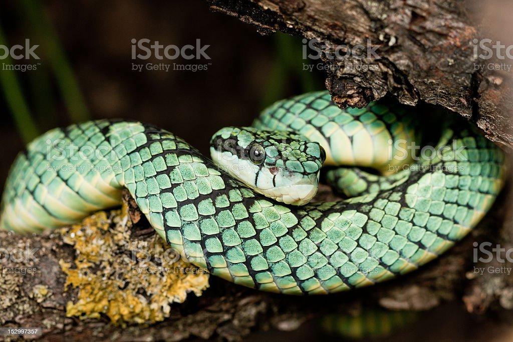 Pit viper (Trimeresurus trigonocephalus) stock photo