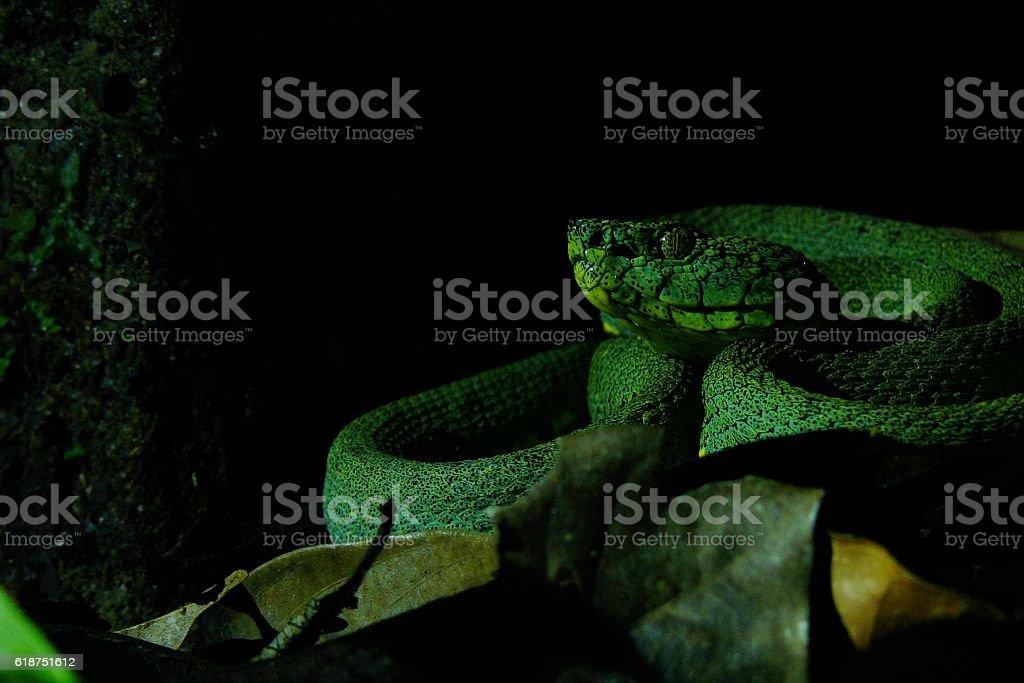 Pit viper stock photo