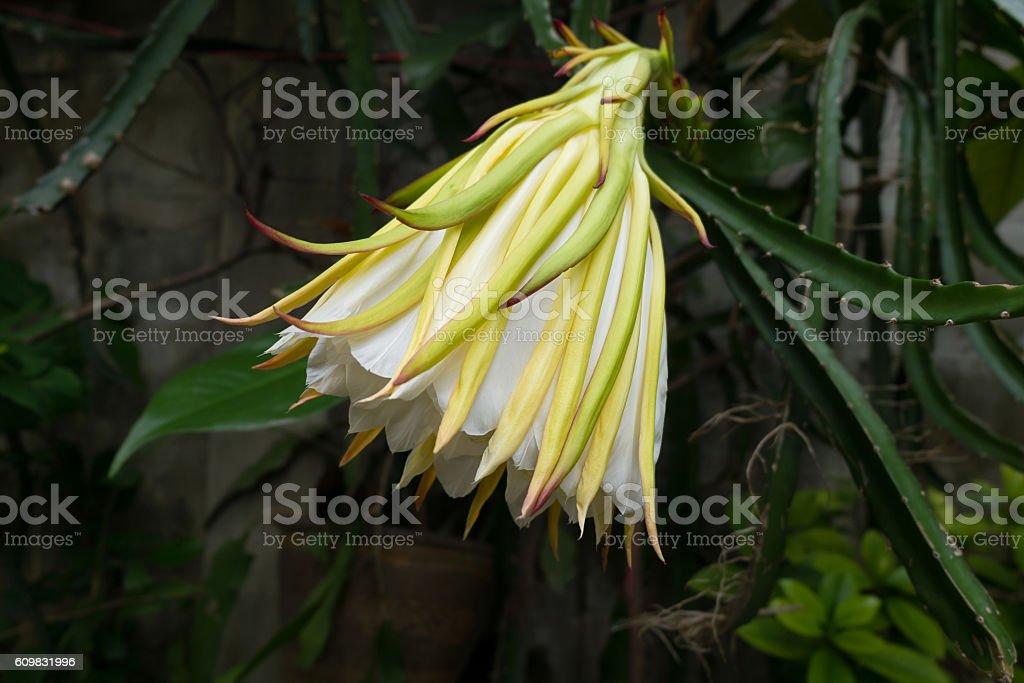 Pitaya flower or dragon fruit, night blooming flower. stock photo