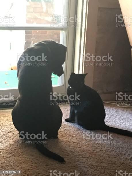 Pitbull cat picture id1190825731?b=1&k=6&m=1190825731&s=612x612&h=ccs0epwkn qbkytv4pvvyl0oxg2 k6jt8tpugu 7z q=