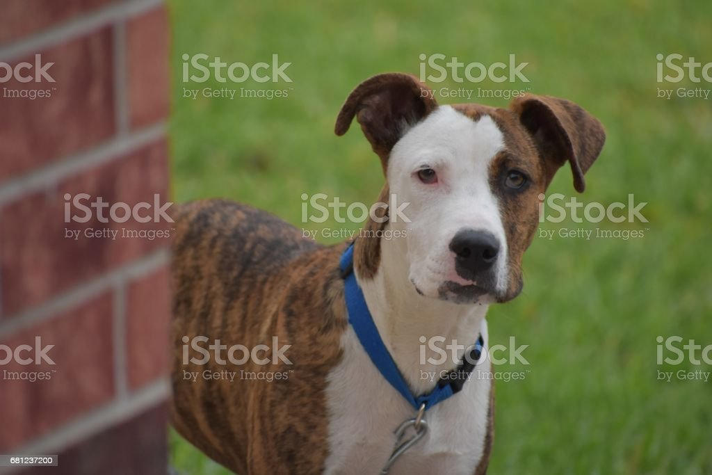 Pit-bull Dog. royalty-free stock photo