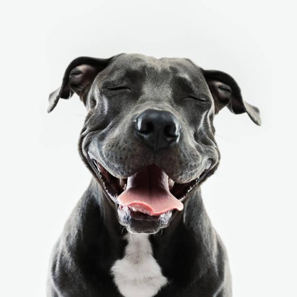 Pitbull dog portrait with human expression picture id697946430?b=1&k=6&m=697946430&s=612x612&w=0&h=yuhxdkcjd7qdkntpe7n1h fvyxue38exwyjy9yzaras=