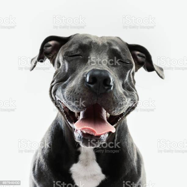 Portrait of cute american pitbull dog looking at camera with happy expression. Square portrait of black dog laughing against gray background. Studio photography from a DSLR camera. Sharp focus on eyes.