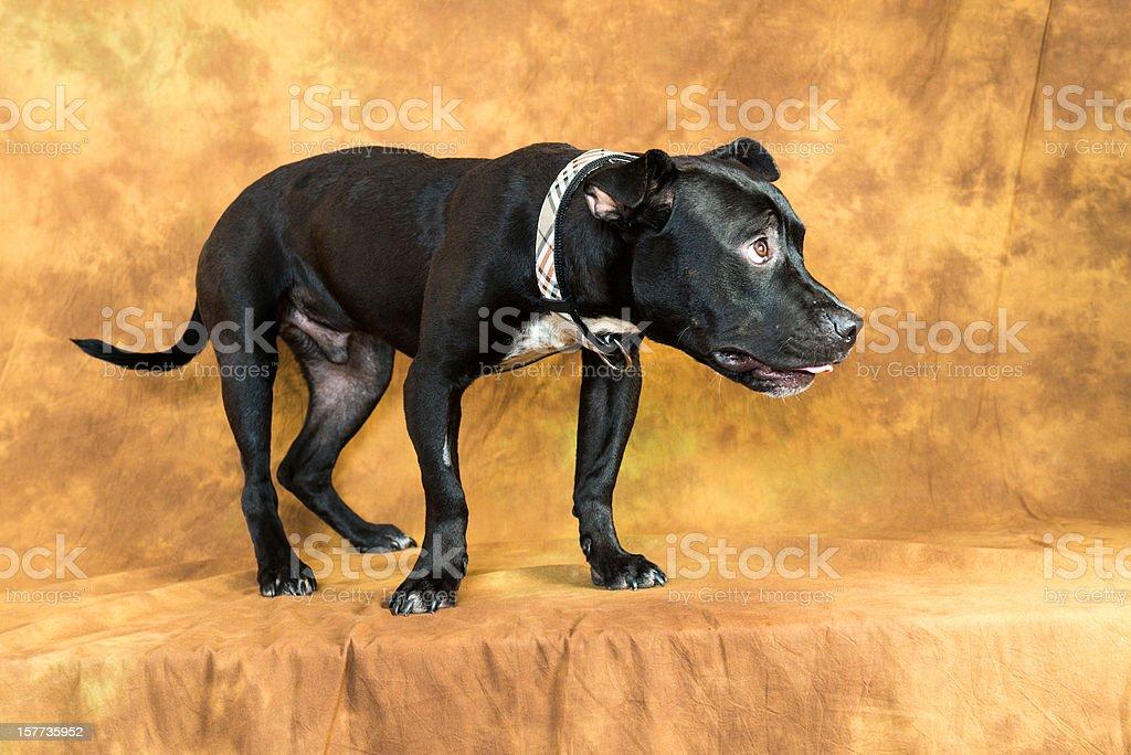 pitbull stock photo