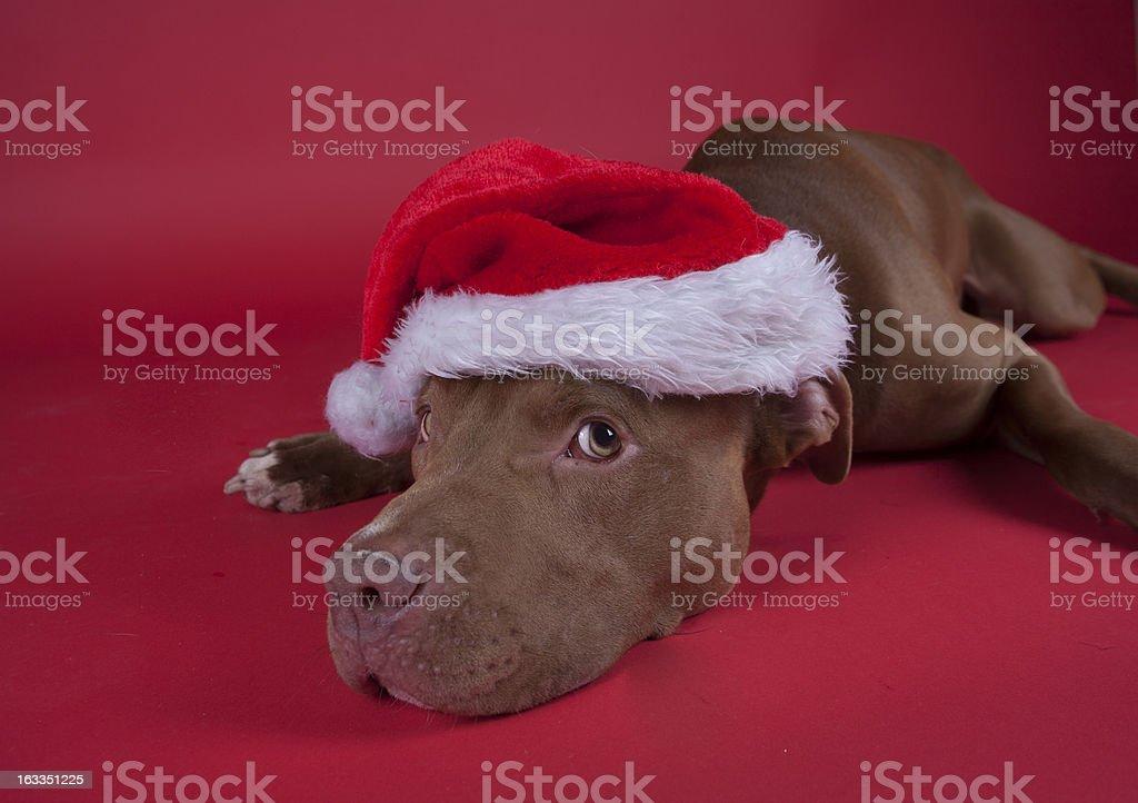 pitbull royalty-free stock photo