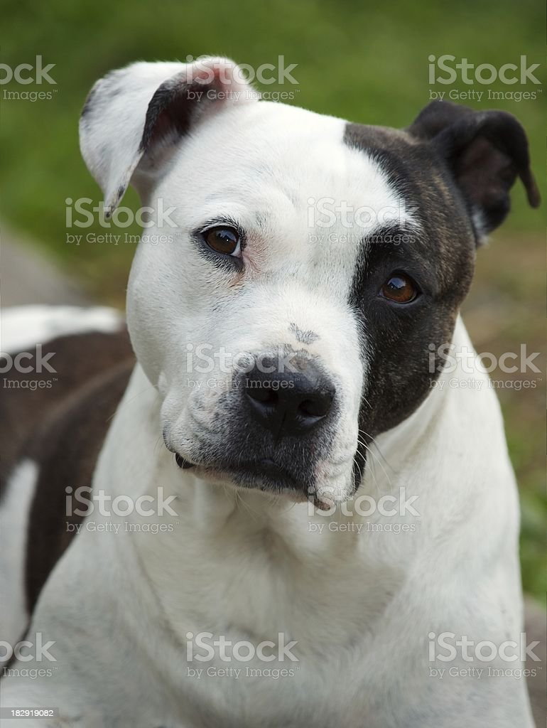 Pitbull stock photo