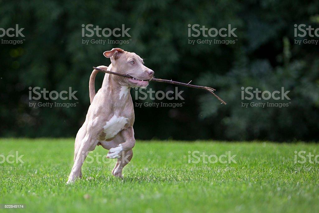 Pitbull Playing With a Stick stock photo