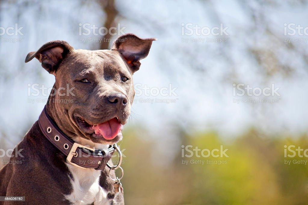 Pitbull Portrait stock photo