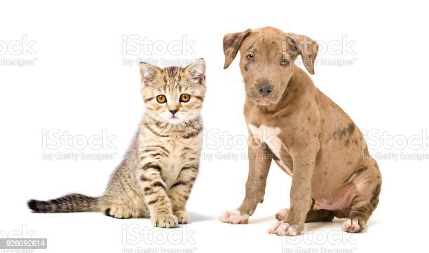 Pitbull puppy and kitten scottish straight picture id926092614?b=1&k=6&m=926092614&s=612x612&h=gcededkmvgfk0rhztyrqn9jptxt7cel2itftj2wpmyq=