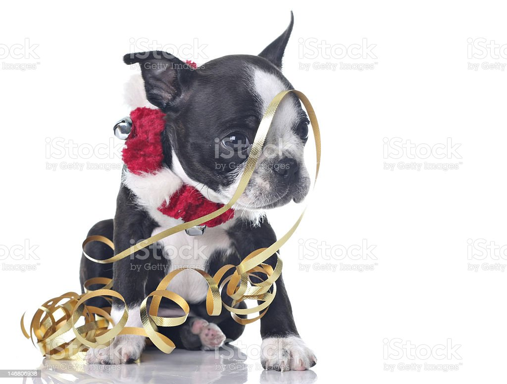 Pitbull puppy in Christmas collar playing with gold ribbon royalty-free stock photo