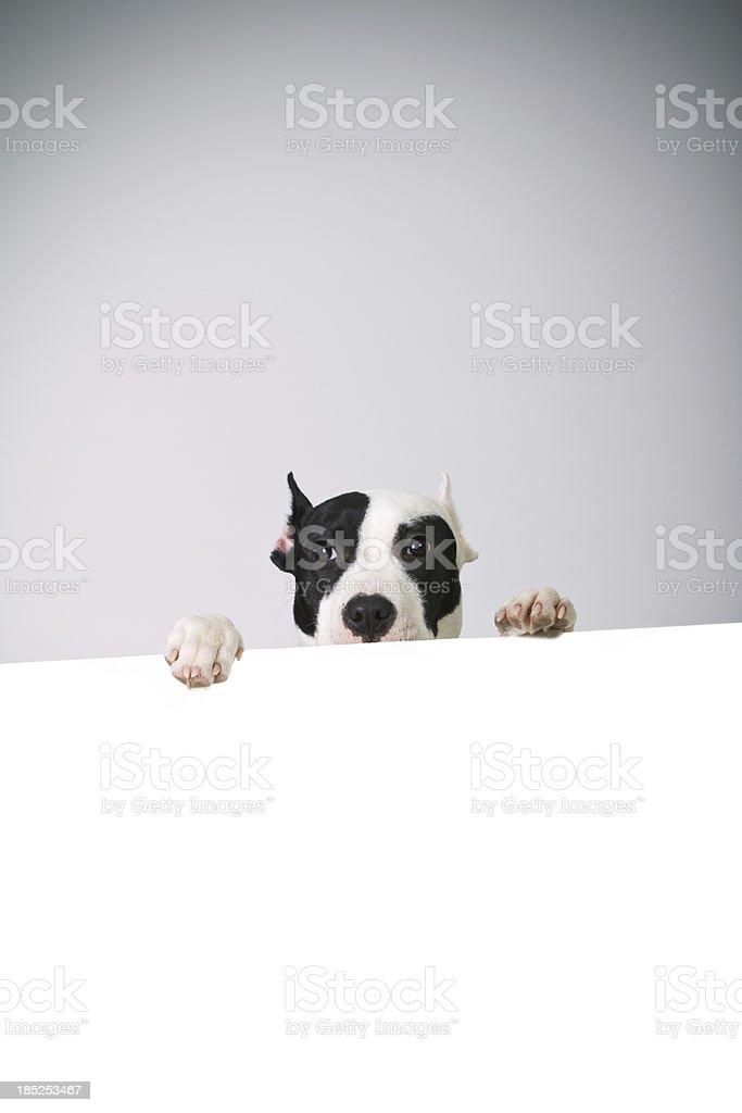 Pitbull puppy royalty-free stock photo