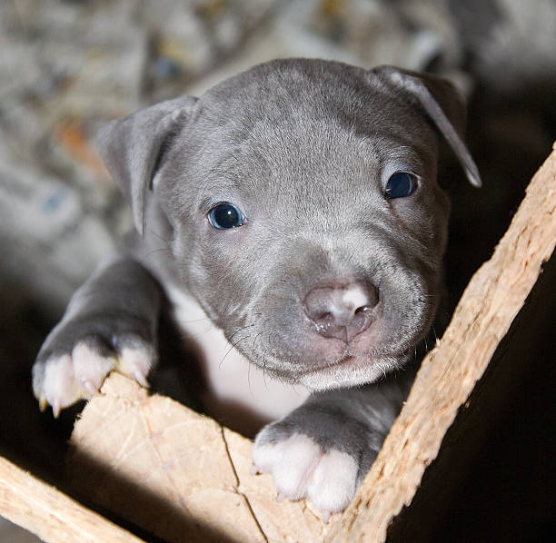 Royalty Free Grey Pitbull With Blue Eyes Pictures Images And Stock
