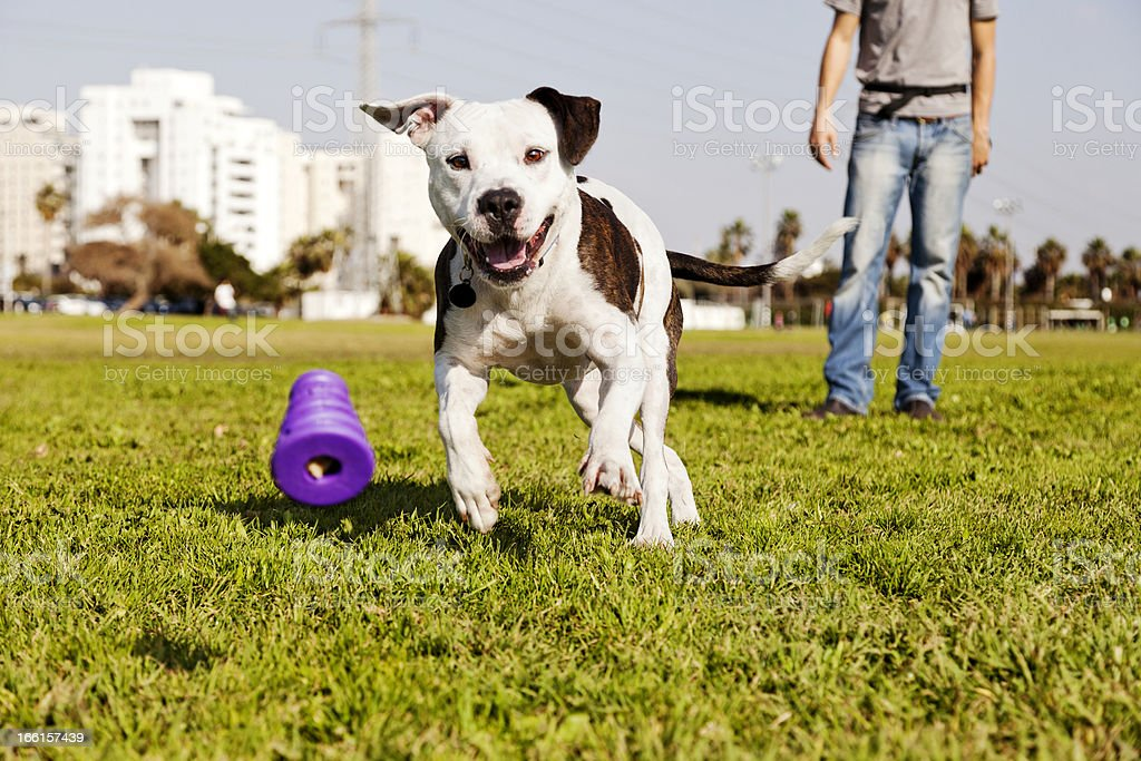 Pitbull Running after Dog Chew Toy stock photo