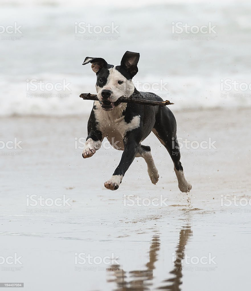 A pitbull running on the beach royalty-free stock photo
