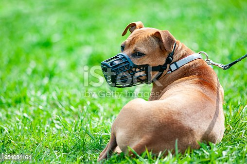 Pitbull terrier in muzzle on a leash