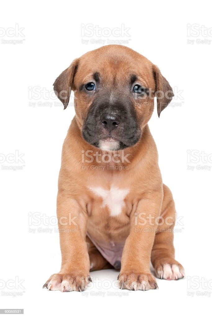 Pitbull Terrier Puppy royalty-free stock photo
