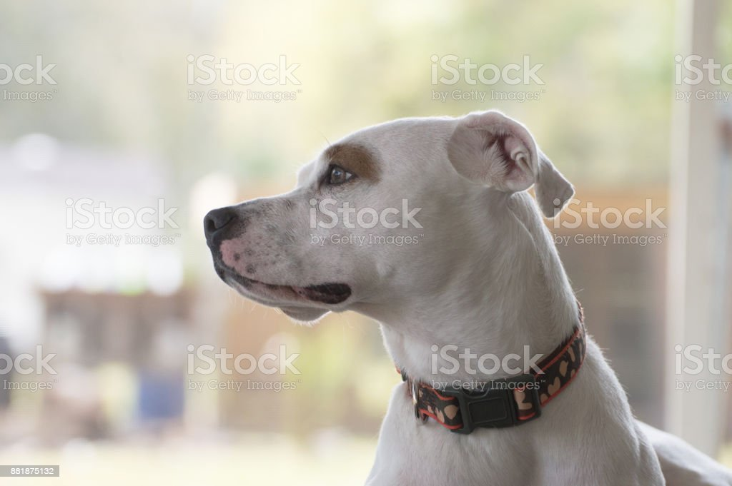 Pitbull watching stock photo