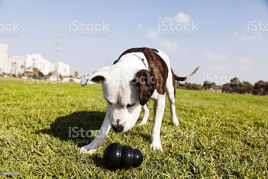 A pitbull with a chew toy in the park royalty-free stock photo