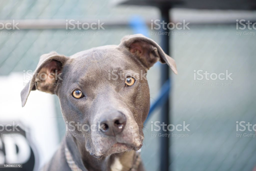 Pitbull with sad face and eyes looking right at the camera stock photo