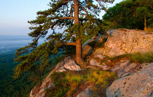 Pitch Pine in The Gunks stock photo