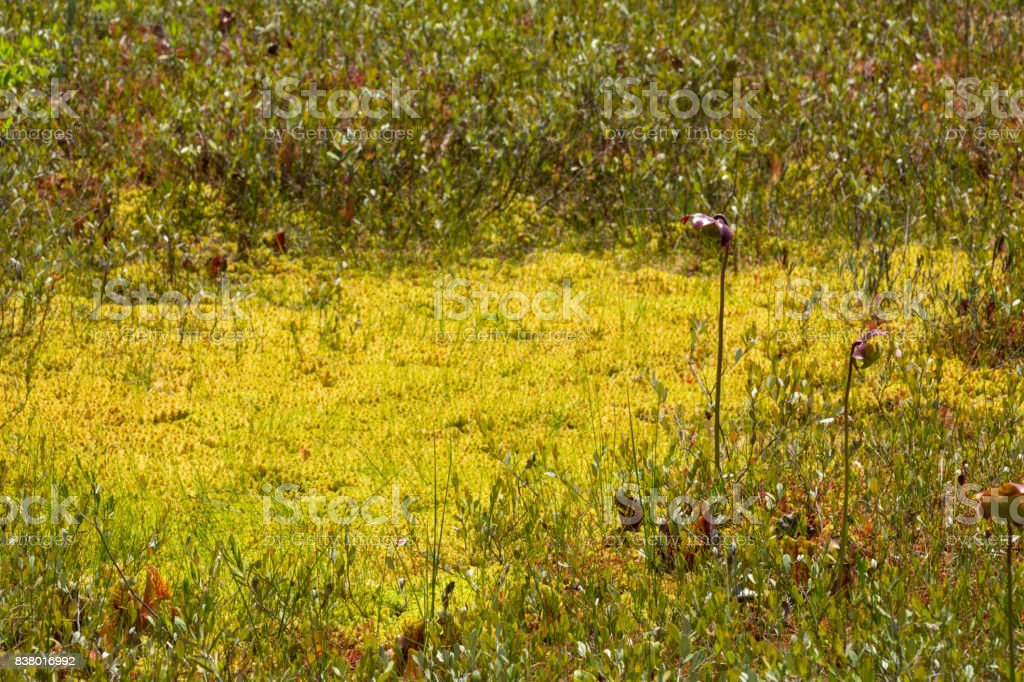 Pitcher plant flowers in a New Hampshire peat bog. stock photo